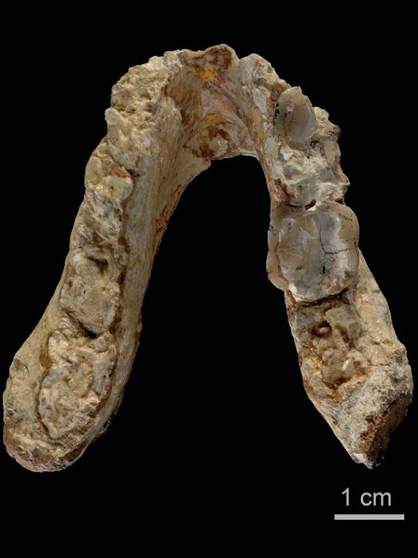 Dientes fósiles revelan el simio más pequeño conocido