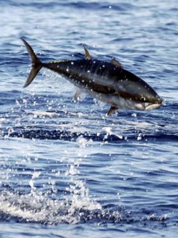 Sobrepesca y delincuentes organizados están amenazando la sostenibilidad de varias especies de atún