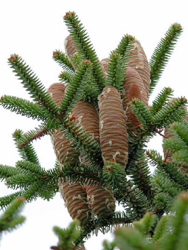 Agentes de Medio Ambiente recogen semillas de pinsapos en la Sierra de las Nieves dentro del Plan de Recuperación