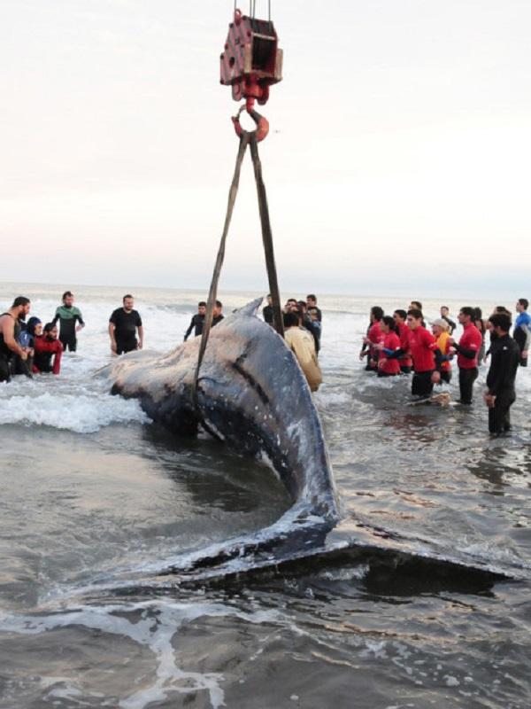 Ministerio y CCAA del Cantábrico estudian un protocolo común de rescate para la fauna marina varada en la costa
