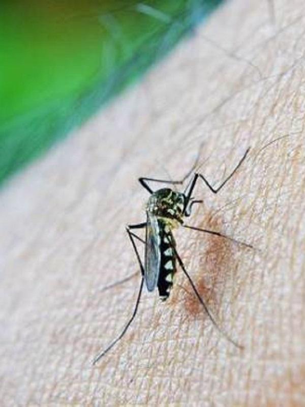 Detecta huevos de mosquito tigre en 31 municipios de la Región de Murcia