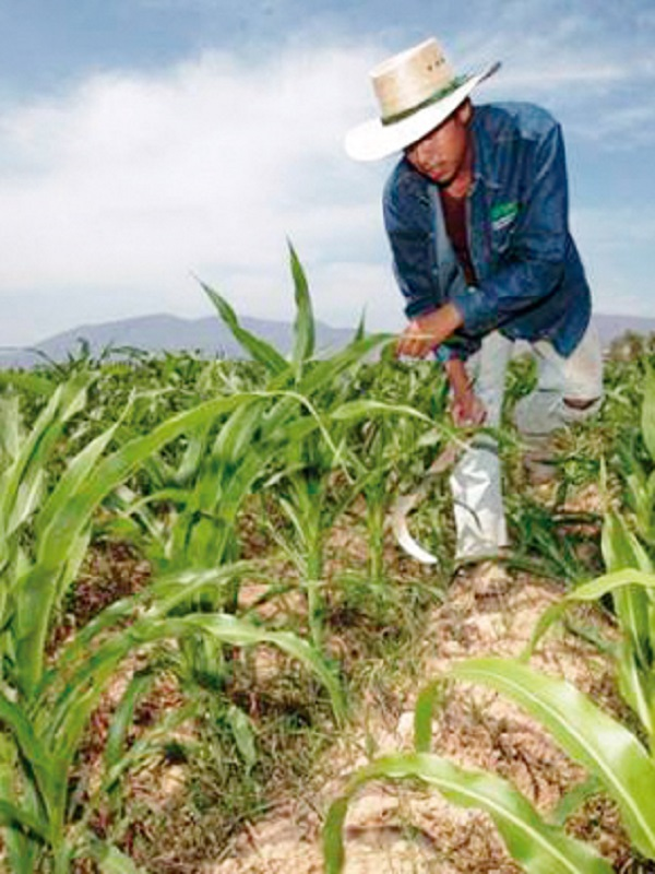 Transición de Sikkim (India) desde la agricultura convencional hacia la orgánica