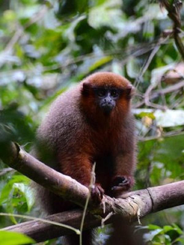 ADN antiguo revela la historia de un mono misterioso del Caribe