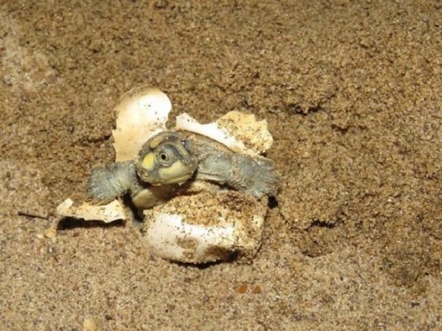 Vigilantes locales salvan de una inminente extinción a la tortuga gigante amazónica