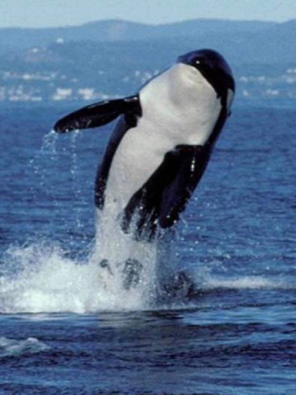 Hay rasgos casi idénticos entre ballenas asesinas y humanos