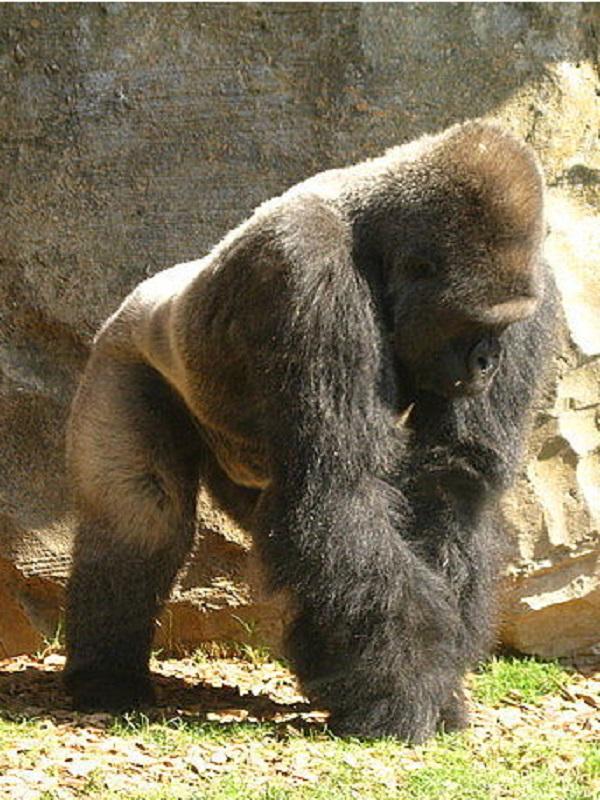 Thomas, el gorila del grupo de
