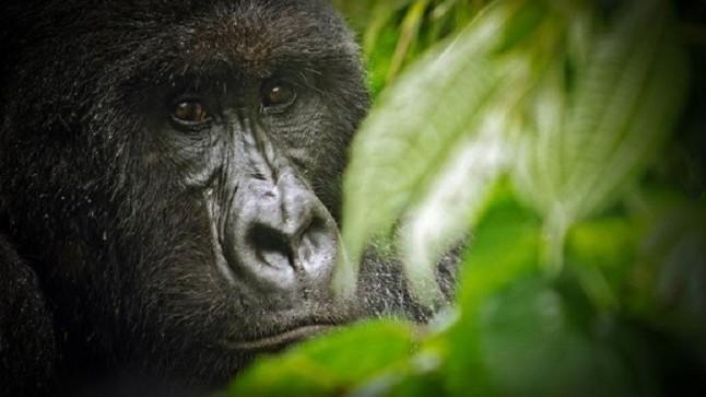 Fuera de peligro crítico la especie del gorila de montaña