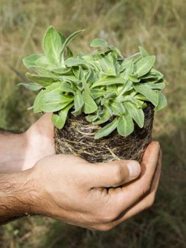 Matamorisca (Palencia) acoge una plantación 17.000 árboles que absorberán 3.300 toneladas de CO2 en 30 años