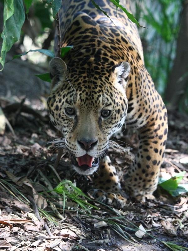 Organizaciones y gobiernos de América Latina se alían para salvar al jaguar