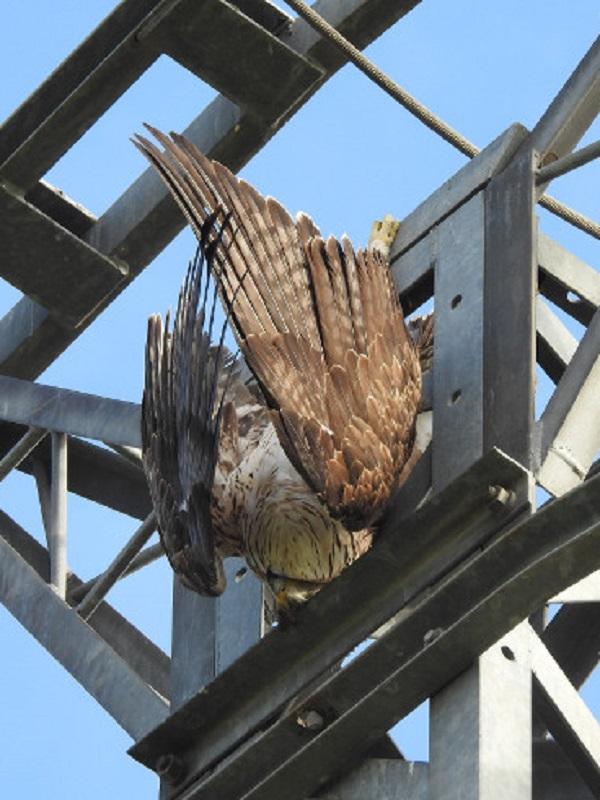 Endesa asegura que los nuevos dispositivos para evitar la electrocución de aves dan resultado