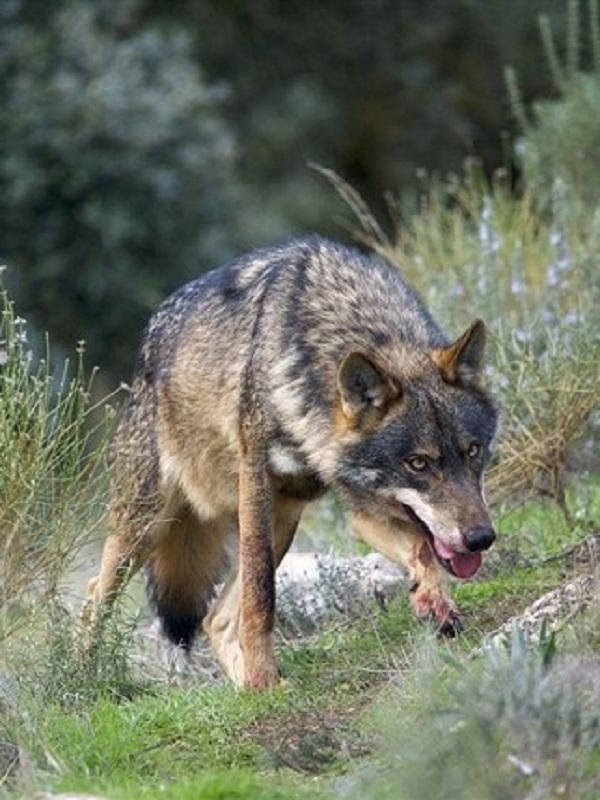 Life Lobo Andalucía destaca el potencial del lobo ibérico como recurso cultural y elemento de dinamización turística de la población local