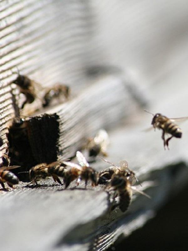 Bayer tiene la poca vergüenza de ponerse de perfil con la pérdida de abejas
