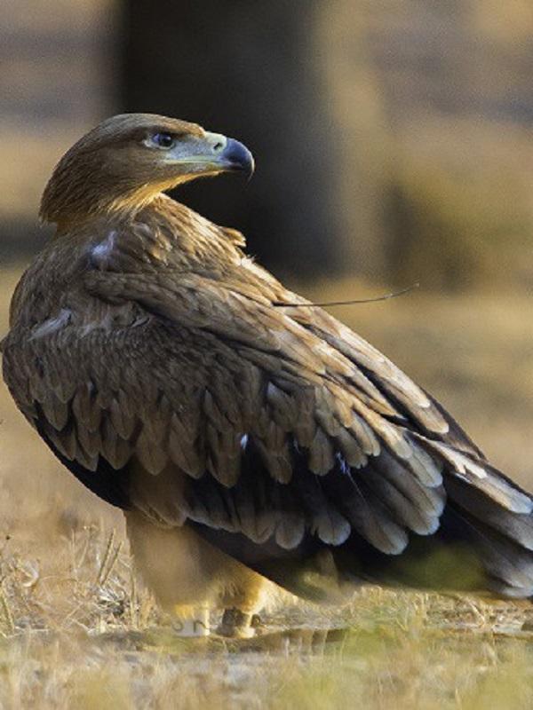 Localizada muerta tras electrocutarse un ejemplar de águila imperial en San Lorenzo de El Escorial