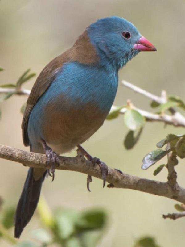 Los sorprendentes azulitos coroniazul