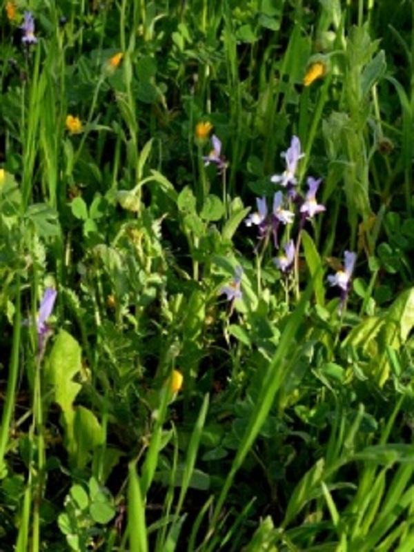 Un estudio revela la gran biodiversidad presente en el olivar andaluz y el hallazgo de una nueva especie botánica