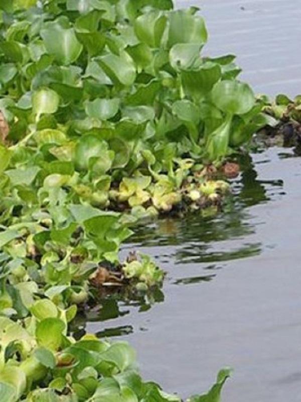 Los 'jacintos de agua' acorralan a Doñana