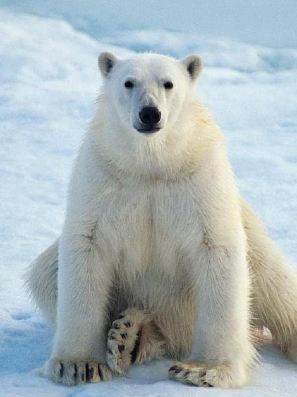 Osos polares, cada día a peor