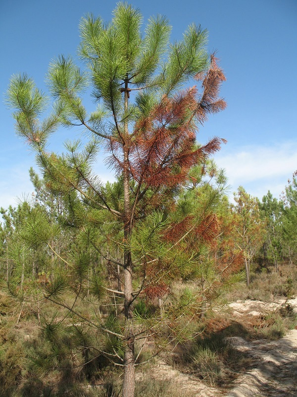 Euskadi arranca un plan contra la enfermedad de los pinos