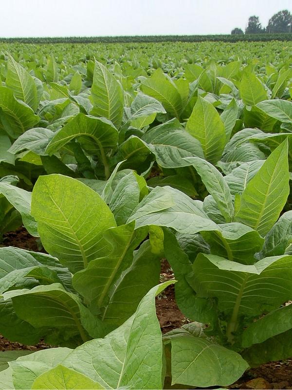 Tabaqueros extremeños defienden la sostenibilidad del cultivo, que usa principalmente la biomasa en el proceso de curado