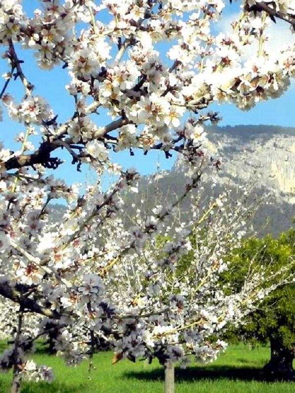 Reconocen oficialmente cinco variedades locales de cerezo de Mallorca