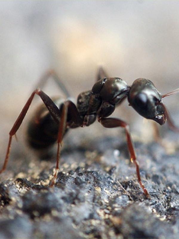 Las hormigas transportan restos fósiles