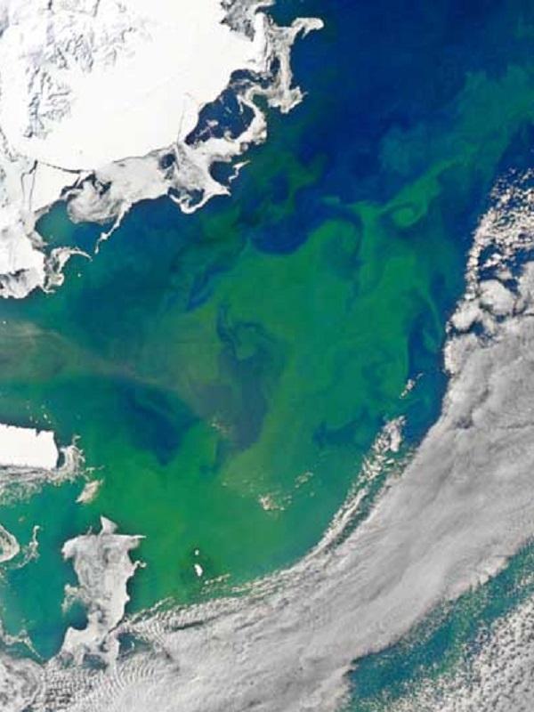 Las floraciones masivas de fitoplancton se extienden por el Océano Ártico