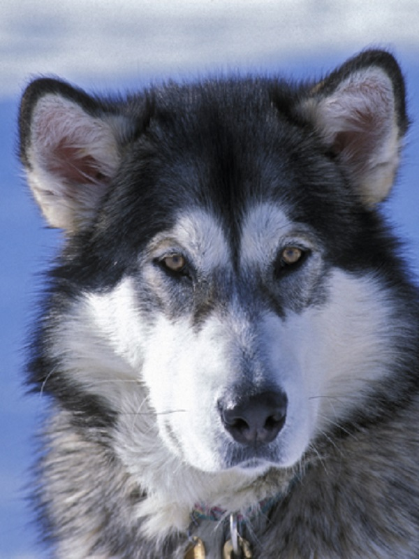 Evidencias de que los perros emigraron con los humanos en el Neolítico