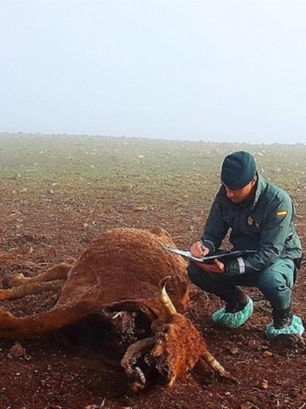 Lamentable. La Audiencia Provincial de Ciudad Real autoriza la muerte de 53 vacas abandonadas en Navalpino