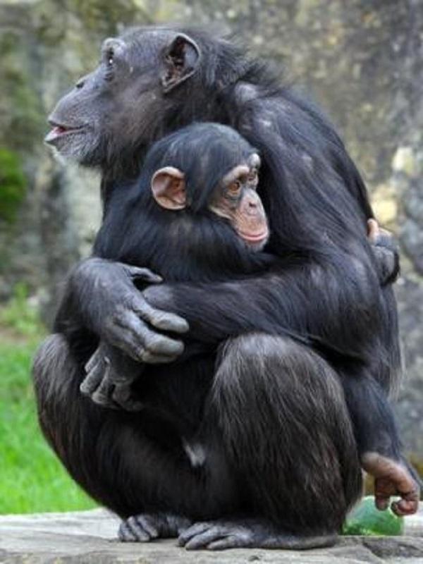 Las hembras de chimpancés saben qué machos pueden matar a sus crías