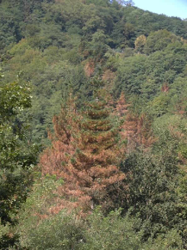 Euskadi. La fumigación de los pinares con óxido cuproso supondrá el exterminio de montes y ríos
