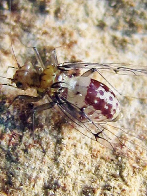 Así funciona el pene de una hembra de insecto de Brasil