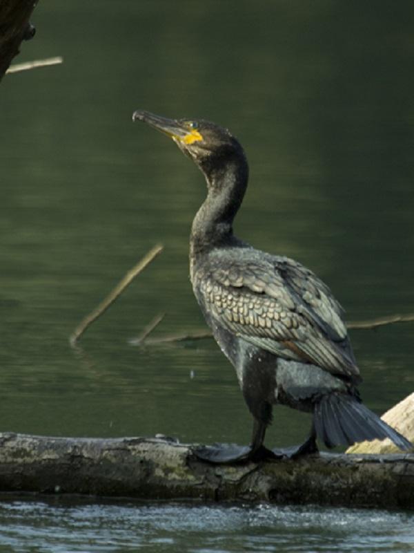 El Principado de Asturias sigue las matanzas de cormoranes para contentar a los pescadores