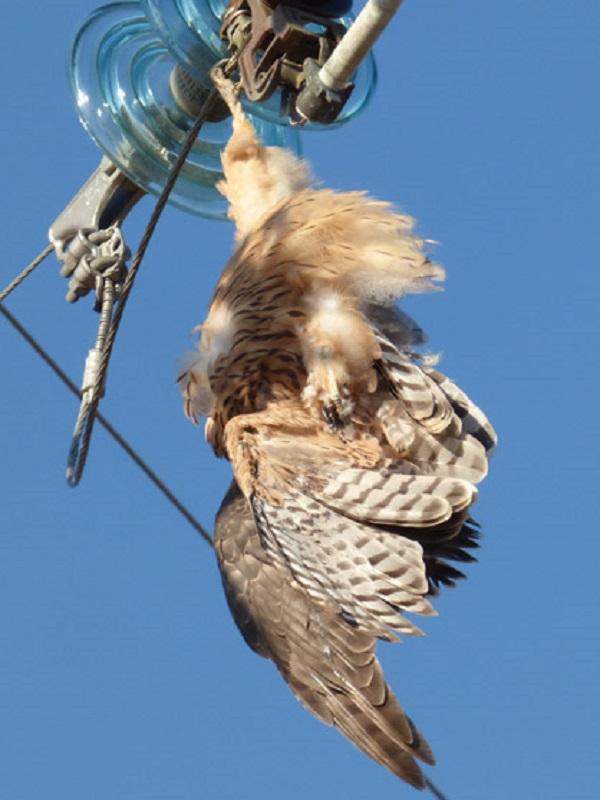 Endesa realiza 34 actuaciones de adecuación en su red en Baleares para minimizar el riesgo eléctrico para las aves