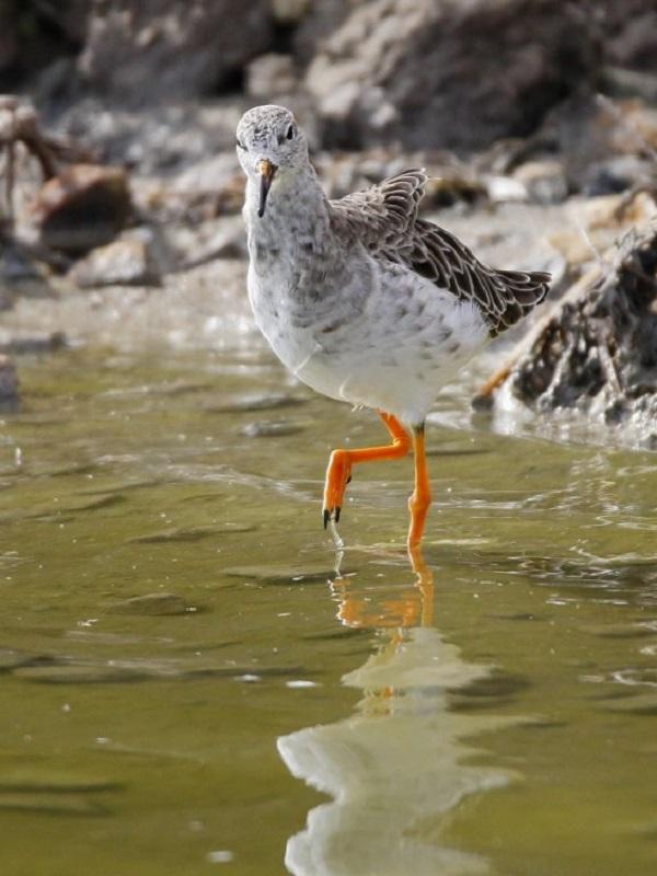 1.802 parejas de aves acuáticas de 14 especies crían en el Parque Regional de las Salinas en la pasada primavera