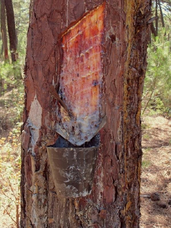 Fomentar la actividad resinera de los pinares evitaría cientos de incendios forestales