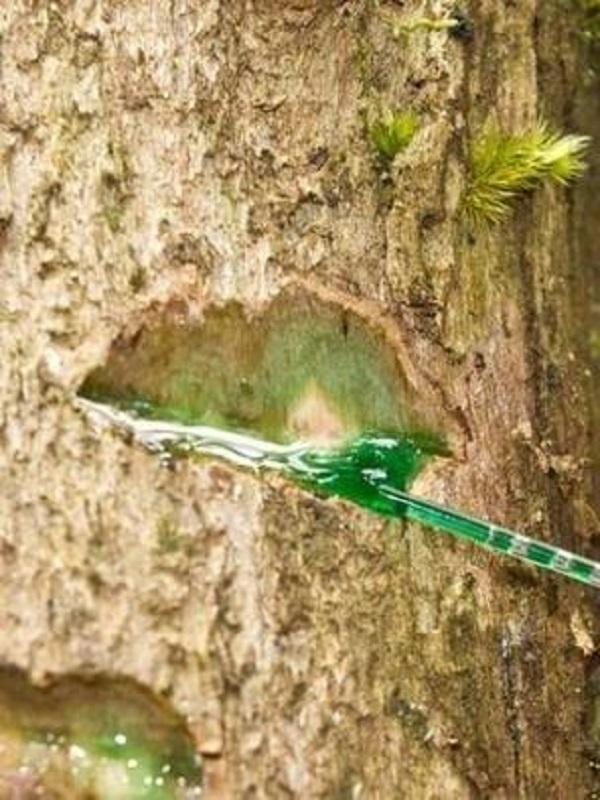 Un árbol de Oceanía absorbe níquel en su látex como insecticida