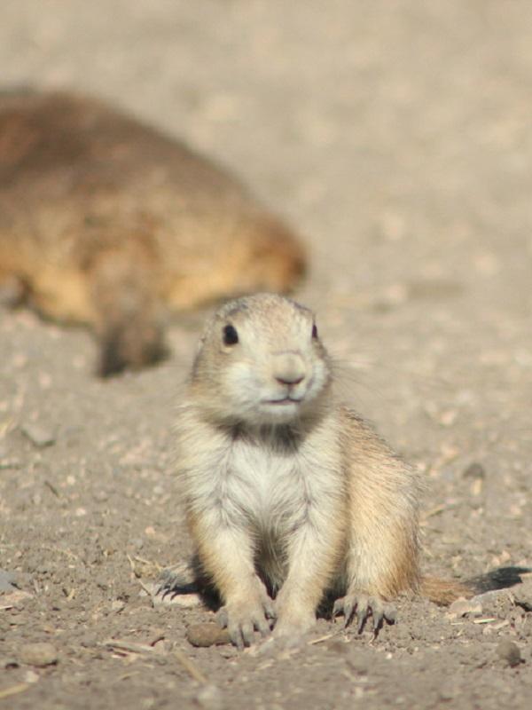 Perrito de las praderas, un habitante singular del noreste de México