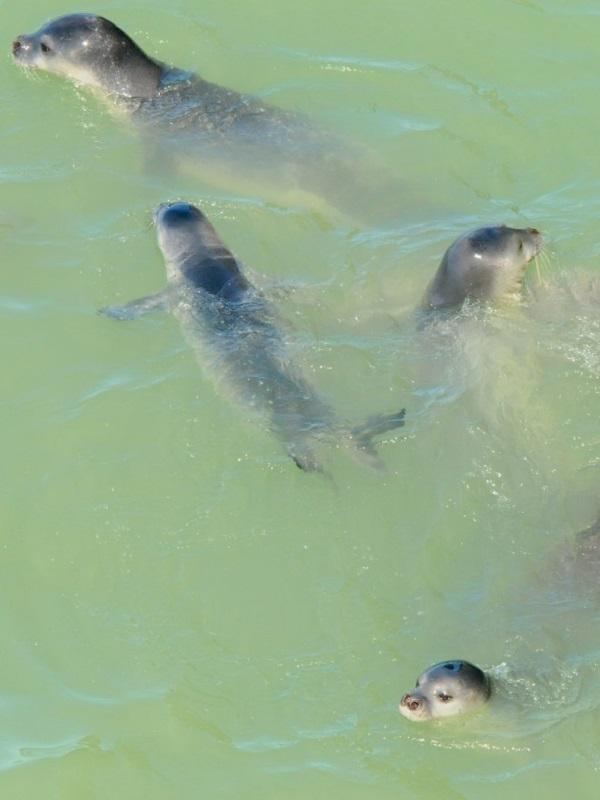 Las primeras reintroducciones de foca monge en Fuerteventura