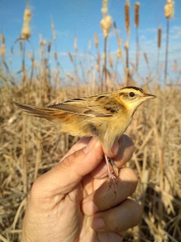 Una de las aves más amenazadas de Europa hará escala en Galisteo (Cáceres) en su ruta migratoria hacia África