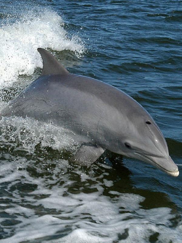 Una nueva cepa del virus más letal en delfines llega al Mediterráneo