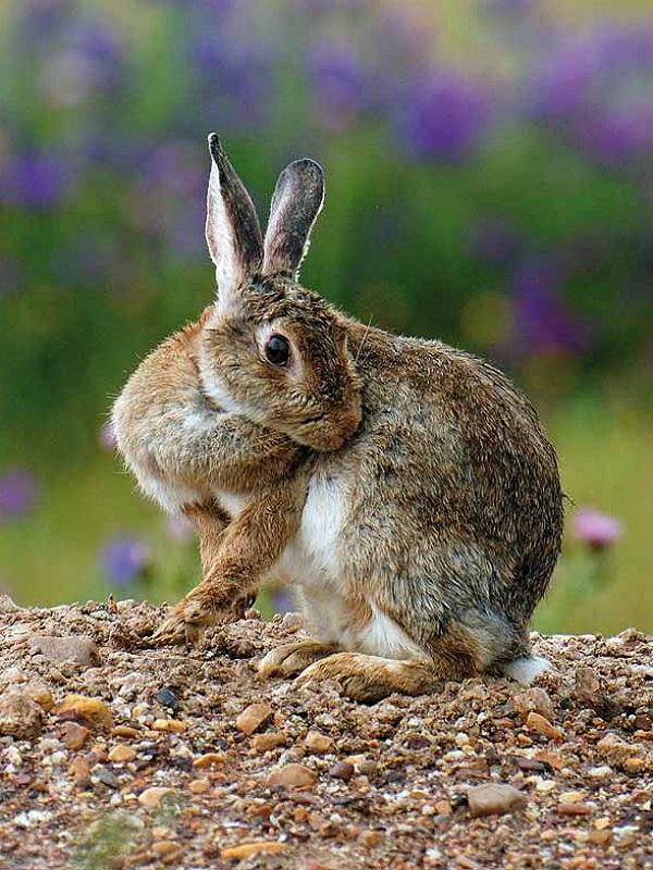 Ecologistas, agricultores e instituciones se alían para prevenir los daños del conejo en los cultivos
