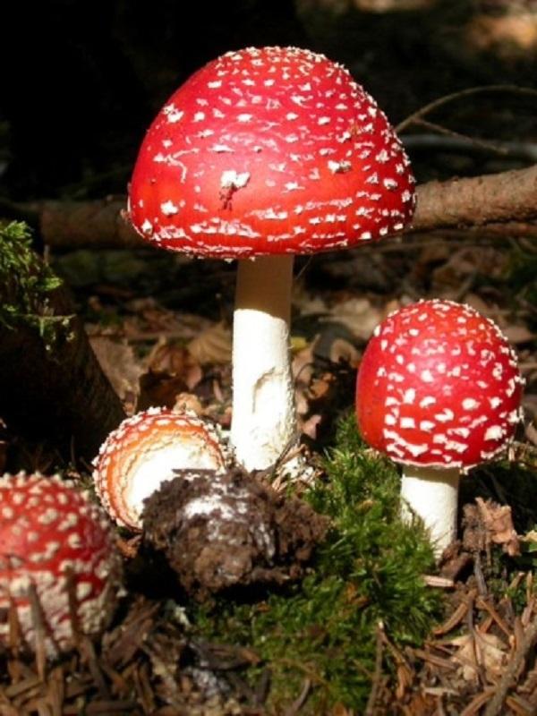 Setas tóxicas, haberlas haylas, ojito con lo que recolectas en el bosque