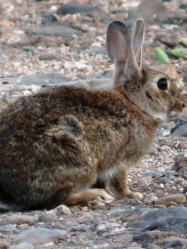 Los daños colaterales del conejo en los cultivos