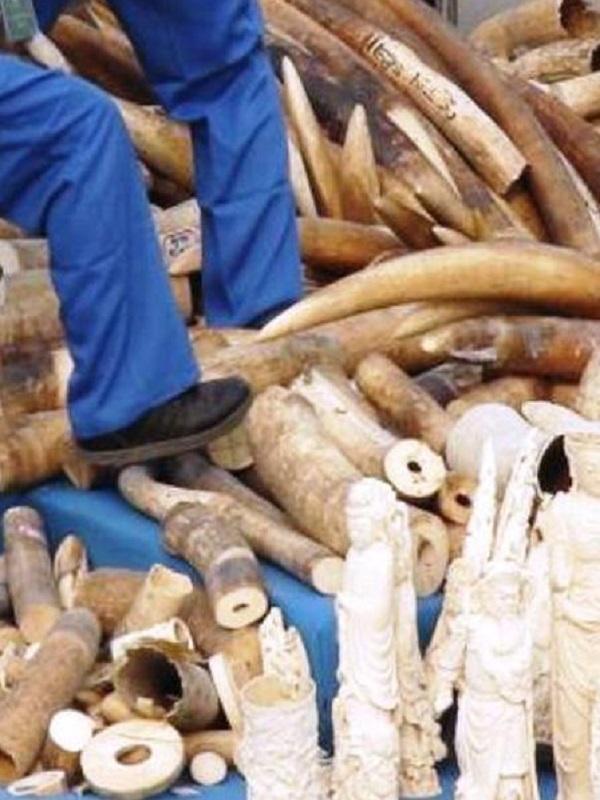La trastienda del tráfico de marfil en África