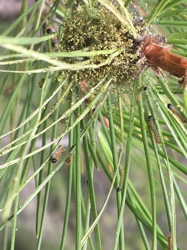 Procesionaria, letal para los bosques