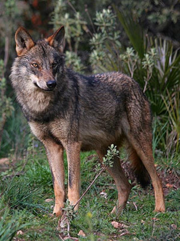 Los agricultores y ganaderos de Castilla y León sueñan con abatir lobos a balazos