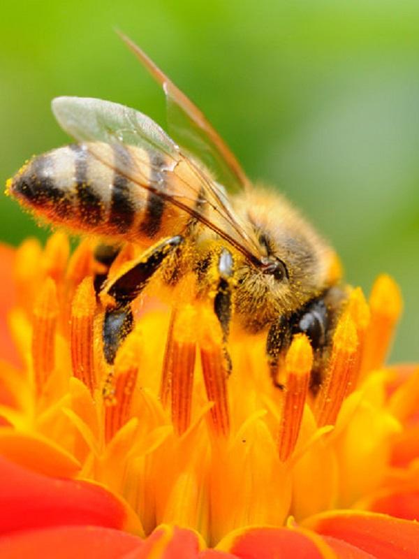 Miles de millones de abejas mueren por un herbicida común