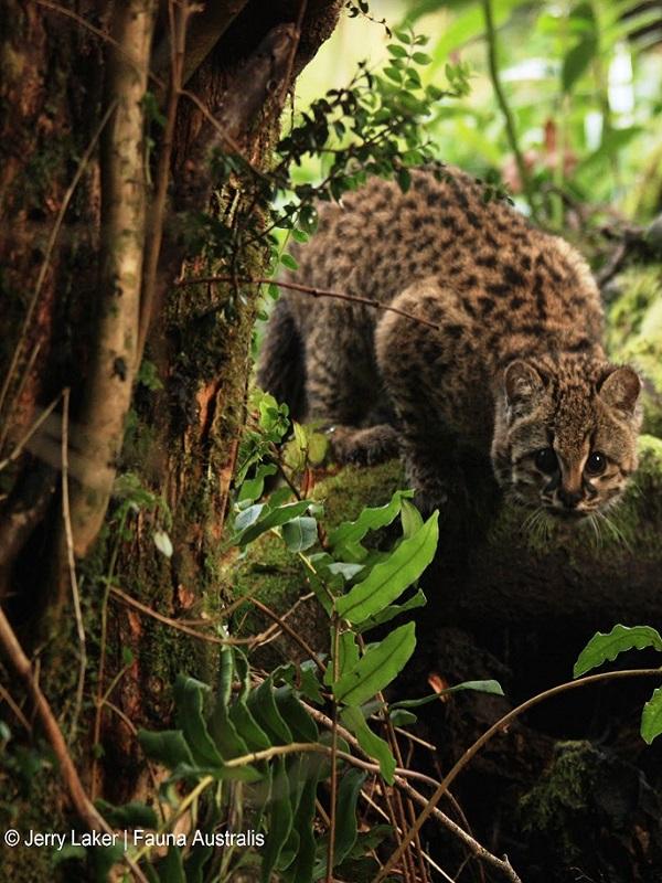 Proyecto pionero en Chile busca recuperar al felino más pequeño de América