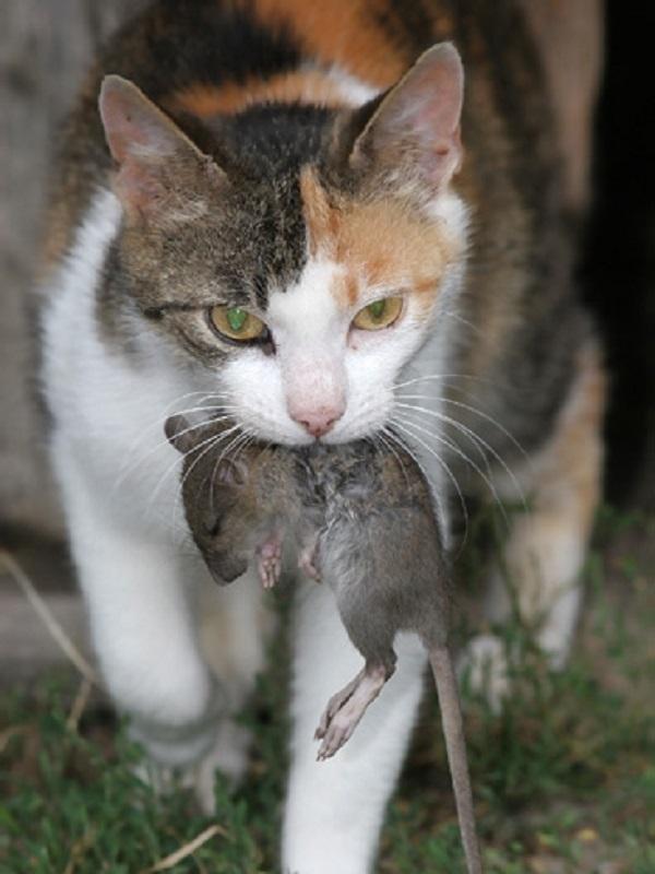 ¿Qué me dirías si te digo que los gatos no son buenos cazadores de ratas?