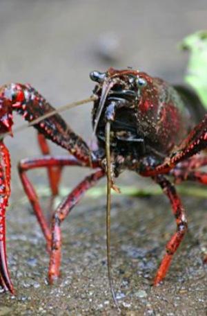 El cangrejo rojo americano aumenta la infección del perjudicial hongo quitridio
